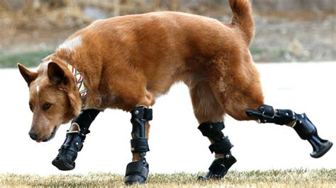dogs with legs with four prosthetic legs