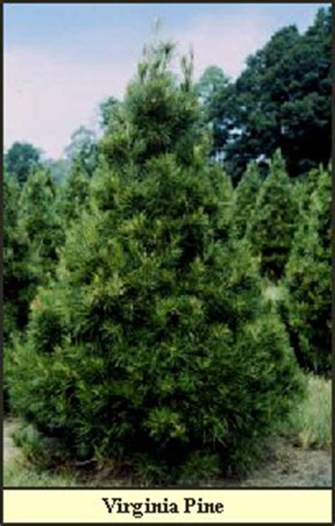 southern christmas tree varieties