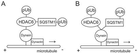 motor protein function motor protein function impremedia net