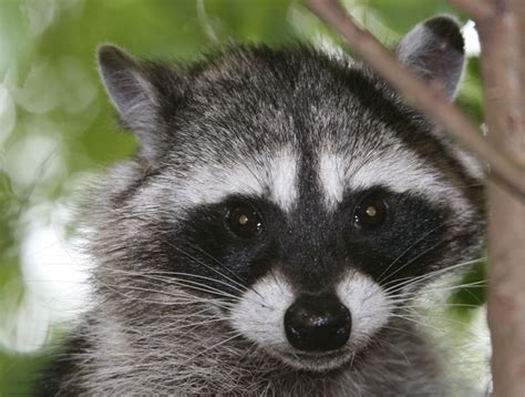 raccoon vs wildlife management raccoon prevention vs raccoon trapping gold miner pest