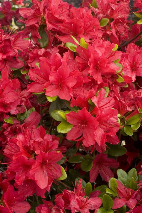 azalea colors azalea color chart www pixshark images galleries