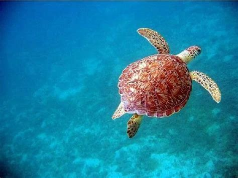 Sugar Baby Premium Swimming Pool Time Fresh Garden T3009 162 best images about sea turtles on swim baby sea turtles and