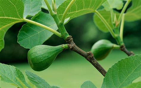 grow  healthiest   delicious figs