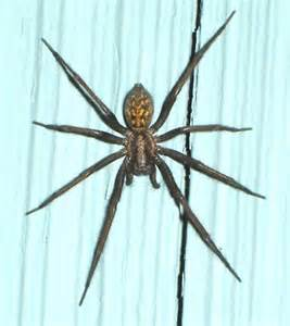 giant house spider seattle house spider isn t it too big eratigena atrica bugguide net