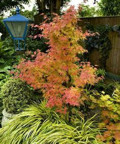 maple trees hardiness zone 4 1000 images about japanese maples on acer palmatum japanese maple trees and