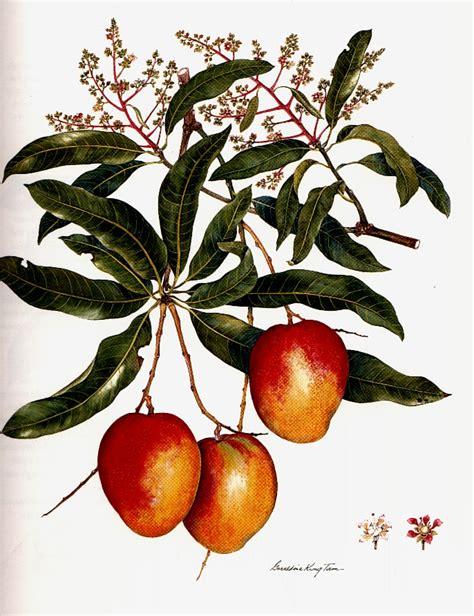 fruit tree drawing drawing of mango tree www pixshark images