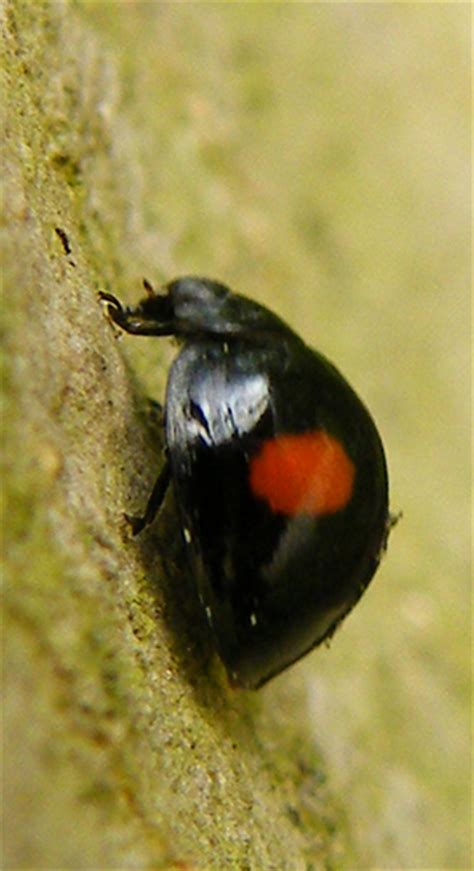 bed bugs black spots little black bug with red spot 176a whitemoor nature re flickr photo sharing