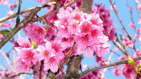 imágenes flores japonesas fotos von japanische kirschbl 252 te rosa farbe blumen 1920x1080