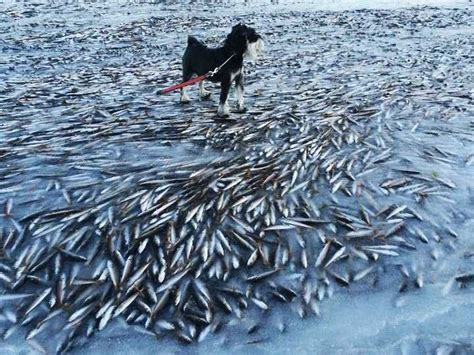 thousands of fish freeze in norway bay business insider