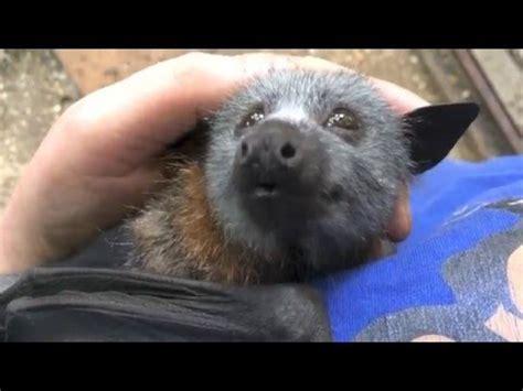 fruit bat pet juvenile bat squeaks while being petted