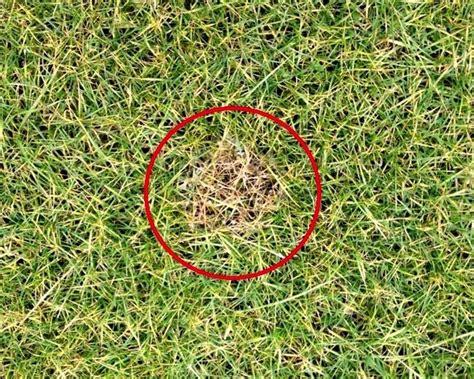 costo tappeto erboso cura prato malattie fungine invernali tappeto erboso