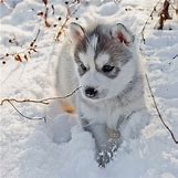 Cute Husky In Snow | 900 x 900 jpeg 108kB