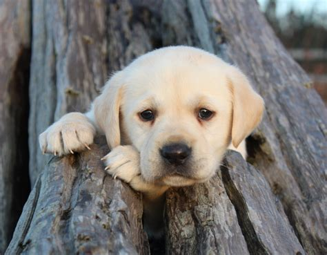 lab puppy labrador retreivers images lab puppy in driftwood hd wallpaper and background