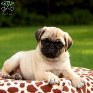 pug puppies for sale in maryland pug puppies for sale in pa greenfield puppies