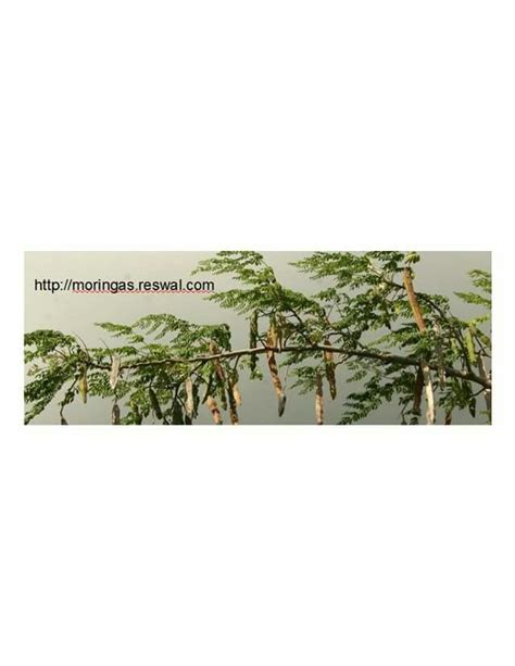 Kelor Seed Soap 19 best images about moringa on trees
