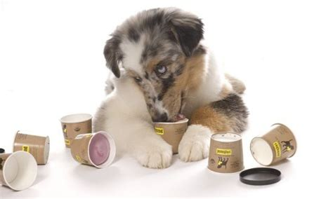 how much yogurt to give yogurt for dogs is yogurt for dogs benefits recipes side effects