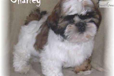 shih tzu puppies for sale in nebraska shih tzu puppy for sale near grand island nebraska c87e045c 6d01