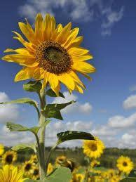 Media Tanam Pak Tani budidaya bunga matahari yang benar dan menguntungkan