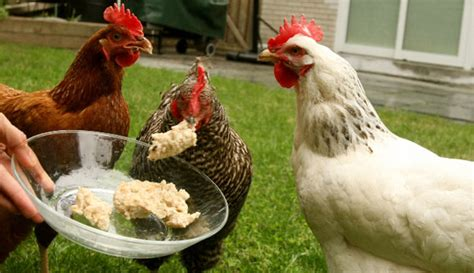 Petition For Backyard Chickens What To Feed Backyard Chickens