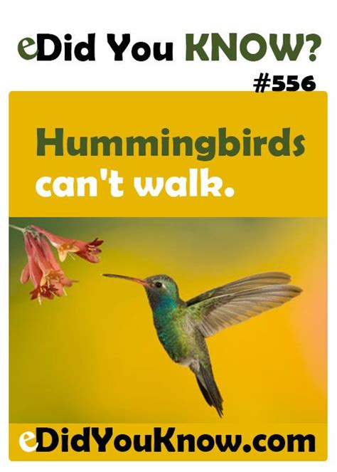 hummingbirds facts and did you know on pinterest