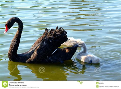 black swan and babies black swan and baby stock photo image of cygnus baby