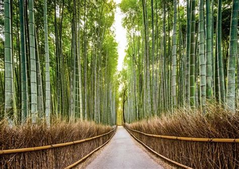 bamboo forest kyoto japan fine art print  pangea images  fulcrumgallerycom