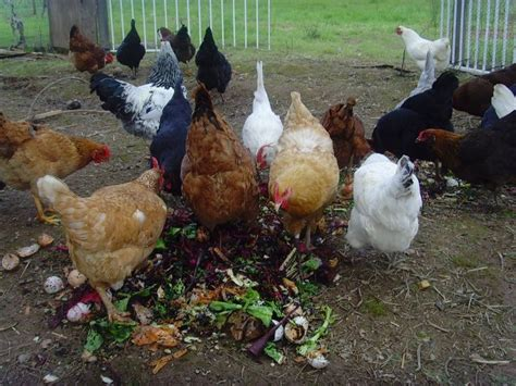 best backyard laying hens 17 best ideas about treats for chickens on