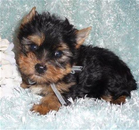 how much does a teacup yorkie puppy cost how much do teacup yorkie puppies cost breeds picture