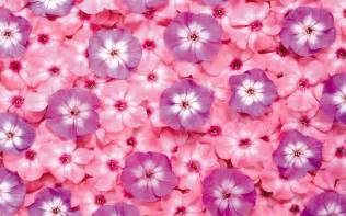 pink and purple flowers wallpaper 7715