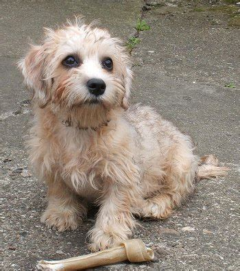 puppy dandie dinmont terrier puppy for your birthday area of cute puppy pictures