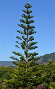 araucaria alchetron the free social encyclopedia