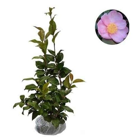 Bibit Bunga Camelia jual tanaman camellia single pink bibit