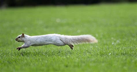 squirrel central white squirrels settling in inside iowa state for faculty and staff iowa state