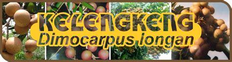 Tanaman Kelengkeng Longan budidaya kelengkeng dimocarpus longan agrokompleks mmc