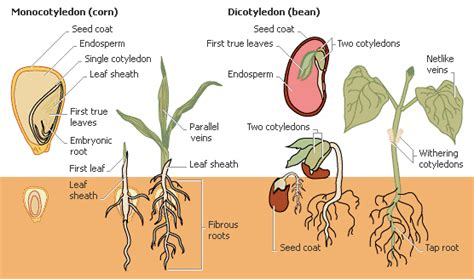 monocot diagram read fodder leanpub