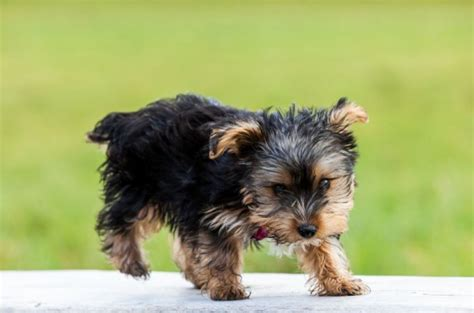 puppies for adoption montana tea cup yorkie s puppies for adoption offer malta 250