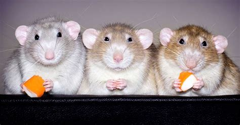 222 best images about rat 222 best rat pics images on rats pets and