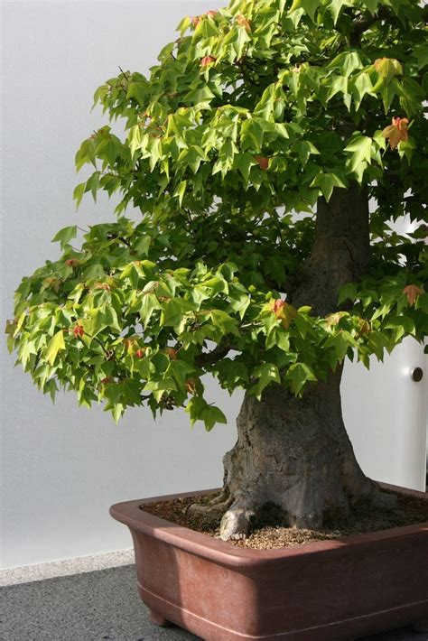 trees in a pot trees in containers how to grow container trees