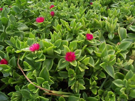 drought resistant flowering shrubs drought resistant ground cover cordifolia fast