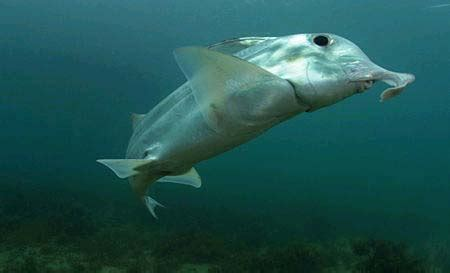 can sharks see color the ghost shark is the weirdest thing in the and it