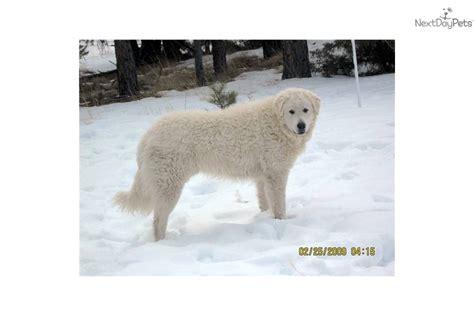 kuvasz puppies for sale kuvasz puppy for sale near helena montana 9cbcd0ce 7d11