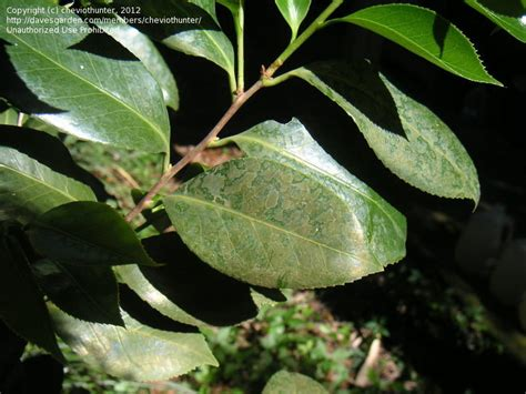 garden pests and diseases pictures of camellia leaf problem 2 by cheviothunter