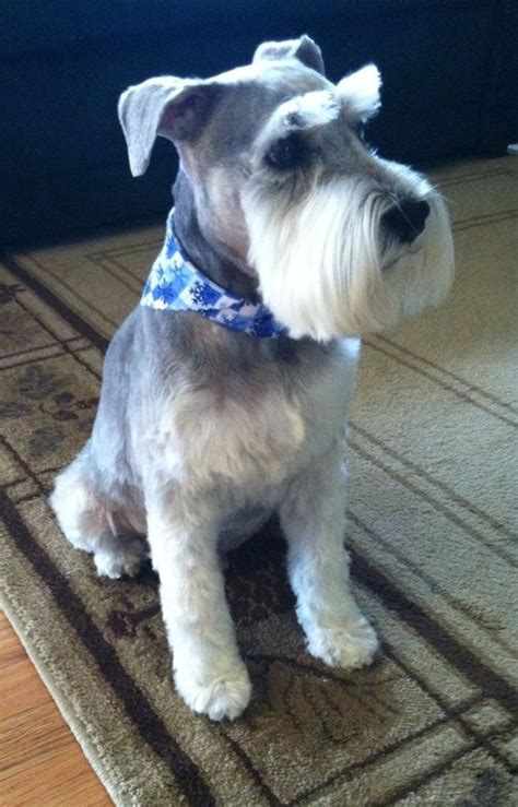schnauzer hair cut step by step search results for mini schnauzer grooming tips for pets