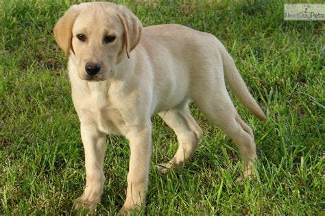 purebred lab puppies labrador retriever puppy for sale near las vegas nevada f4a8576f 05f1