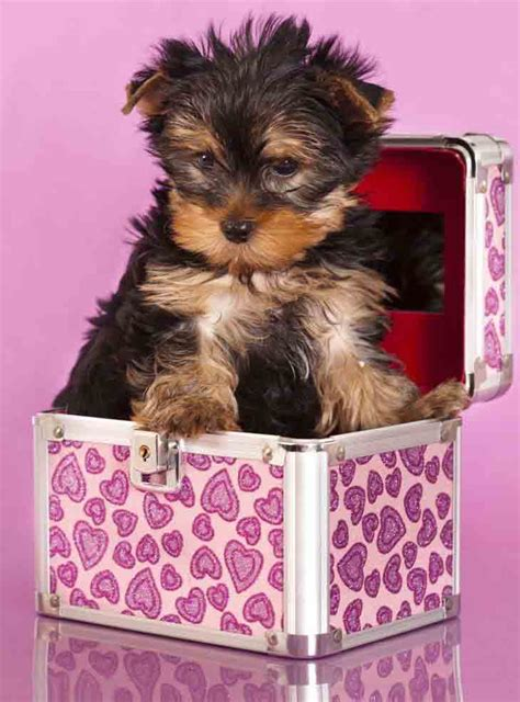 yorkie puppy names for males yorkie names terrier names