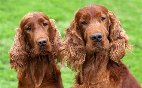 irish setter dog is your pup among the most popular irish dog names and breeds