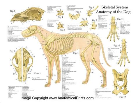 puppy anatomy 25 best ideas about anatomy on wolf design drawing guide and anatomy