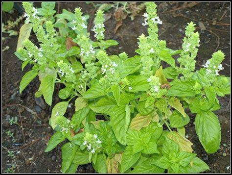 coltivare il basilico in vaso basilico in vaso aromatiche basilico in vaso