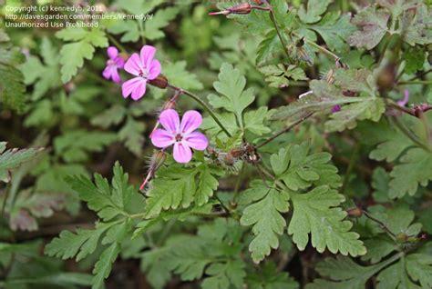plantfiles pictures herb robert redshank bloodwort fox