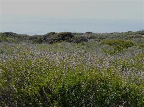 california coastal sage scrub plant community